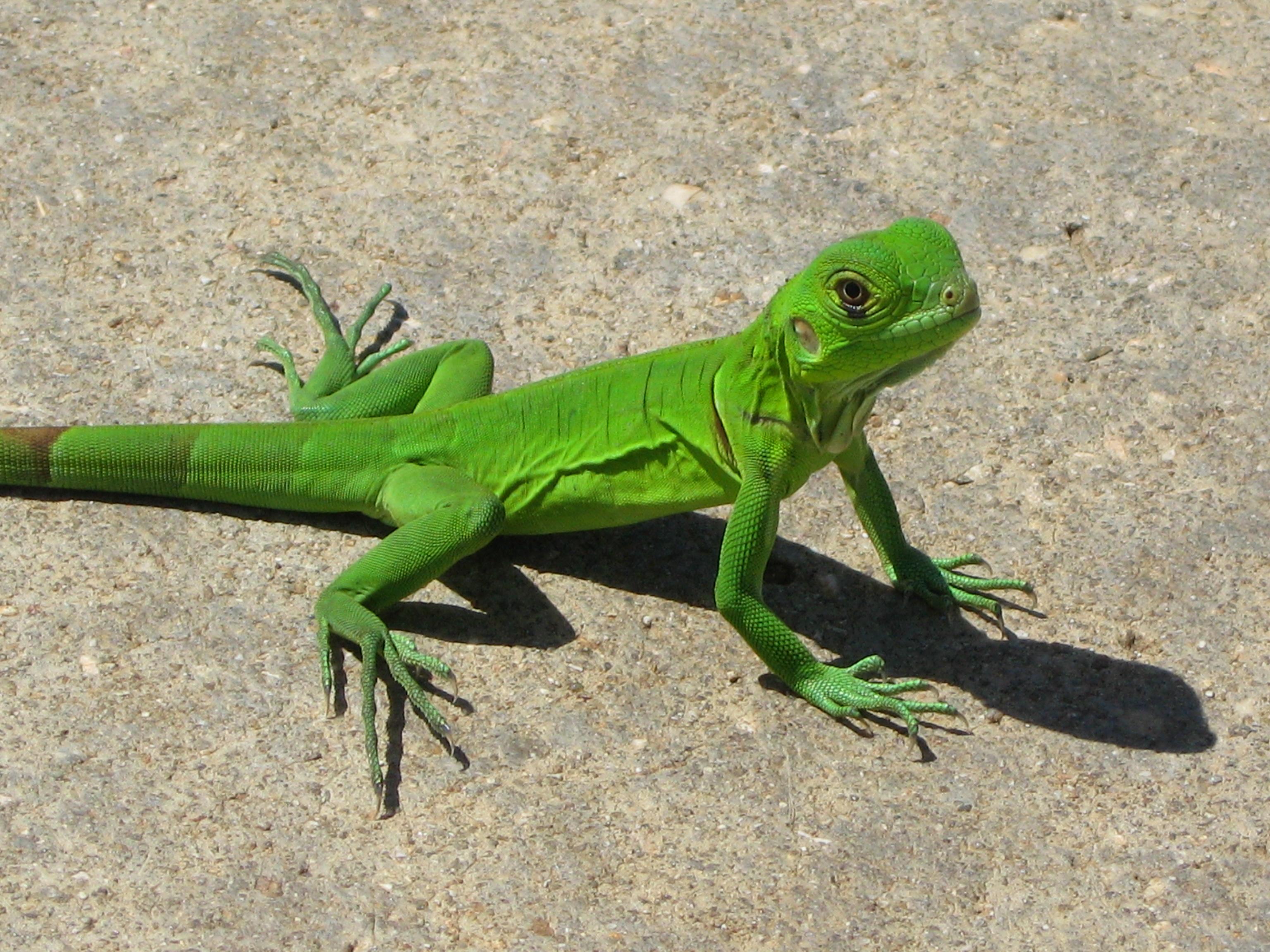 young iguana dark brown hairs